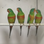Red-fronted Swift Parakeets