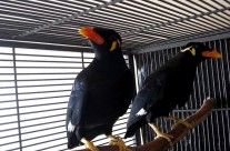 Greater Hill Mynah Birds